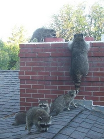 Raccoon Family At Top Of Chimney