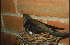 A Chimney Swift Nesting in a Chimney